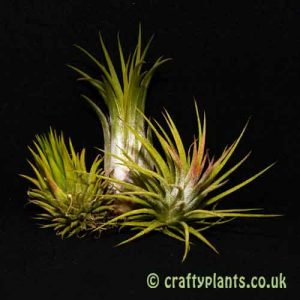 Craftyplants Tillandsia Ionantha 3 Pack of airplants
