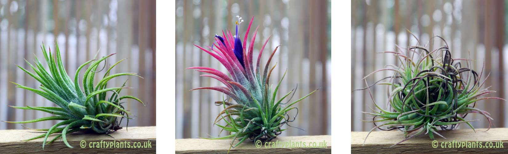 Left To Right - Tillandsia Ionantha Mexico single plant, flowering plant producing 'pups', parent plant withering as 'pups' start to form clump.