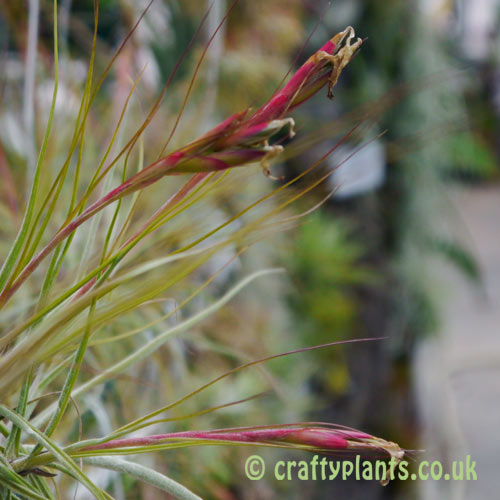 Tillandsia Schiedeana seed pods