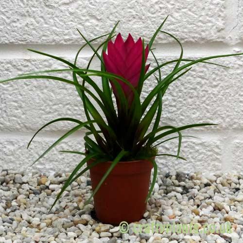 Tillandsia cyanea from craftyplants.co.uk