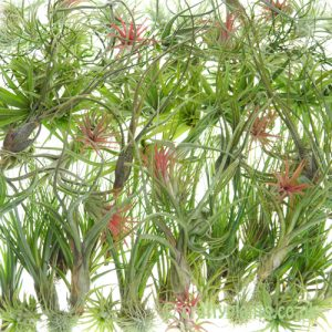 Wholesale 100 pack Tillandsia Airplants