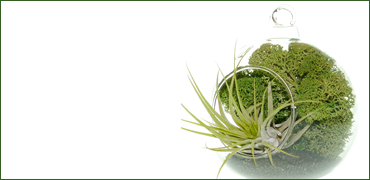 Tillandsia airplant terrarium kits