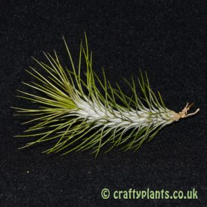 tillandsia funckiana from craftyplants