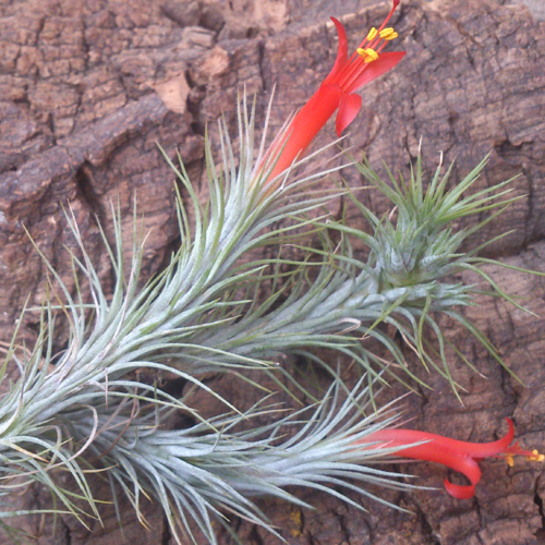 flowering tillandsia funckiana from craftyplants