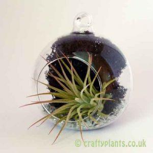Craftyplants Airplant Kit D