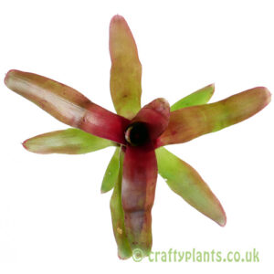 A top down look at Neoregelia 'Fireball' by craftyplants