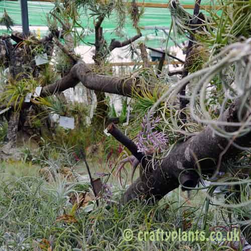 Craftyplants Airplant Nursery