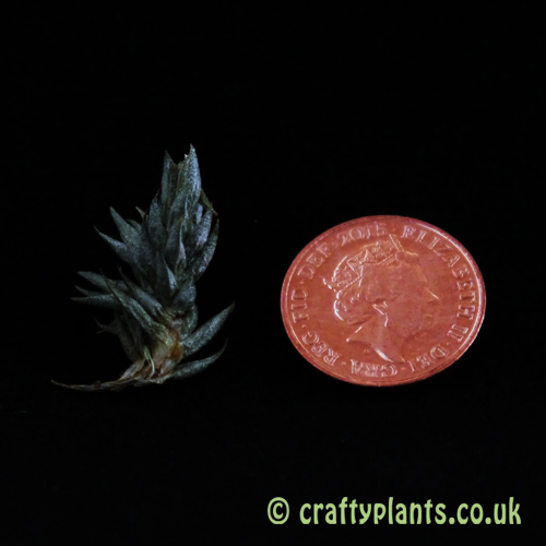 Tillandsia Aizoides with a one penny coin - Craftyplants