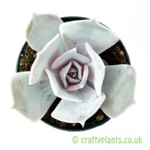 A top down view of Echeveria lilacina from craftyplants
