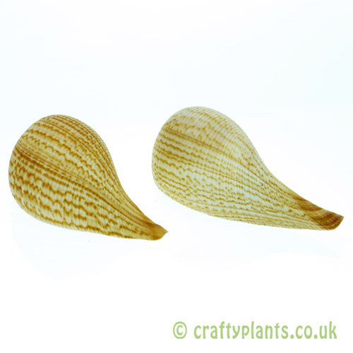 Ficus graillis shell (Fig shell) from Craftyplants.co.uk