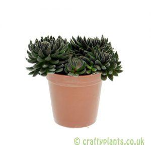 Sinocrassula 'Yunnanensis' 5.5cm pot from Craftyplants
