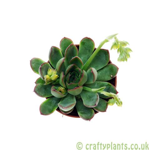 Echeveria 'Hercules' 5.5cm pot from Craftyplants