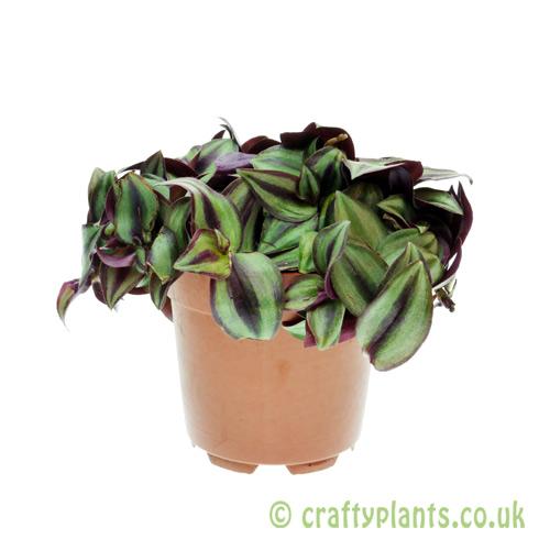 Tradescantia zebrina 'Purpusii' from Craftyplants