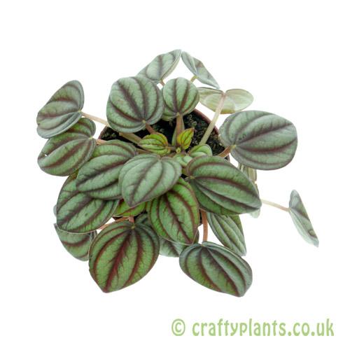 Peperomia piccolo banda 5.5cm pot from Craftyplants