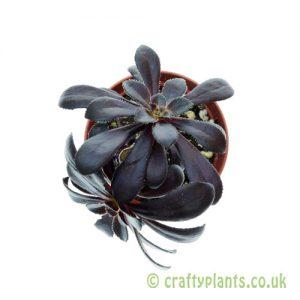 Aeonium arboreum 'schwarzkopf' 5.5cm pot from Craftyplants.co.uk