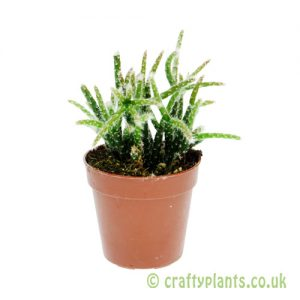 Rhipsalis pilocarpa 5.5cm pot from Craftyplants