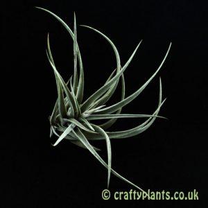 Tillandsia Fresnilloensis from Craftyplants