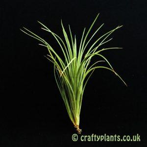 Tillandsia Tenuifolia var Tenuifolia air plant from Craftyplants
