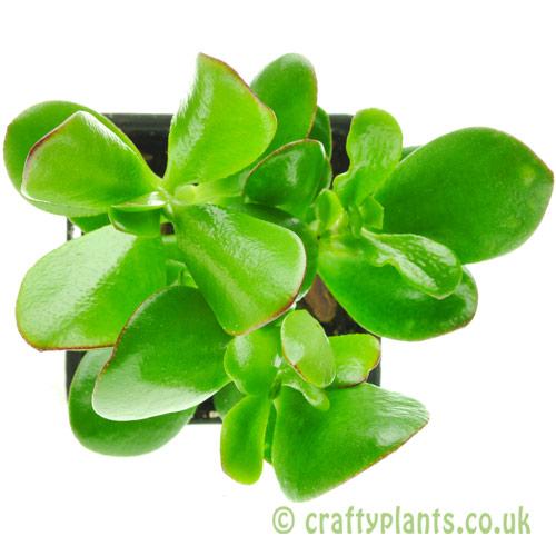Crassula Ovata jade plant top view by craftyplants.co.uk