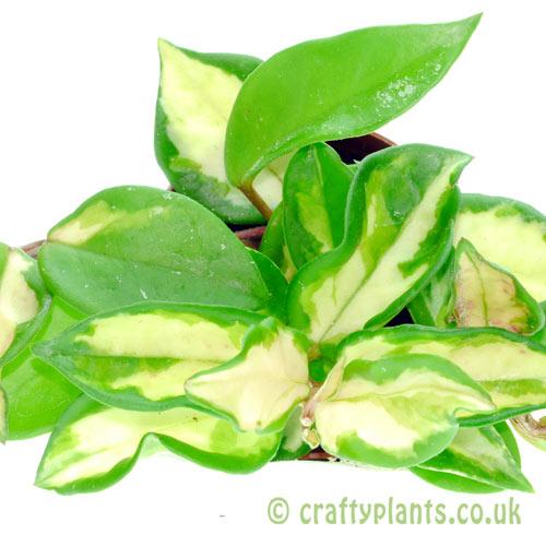 Hoya Carnosa Tricolor by craftyplants.co.uk
