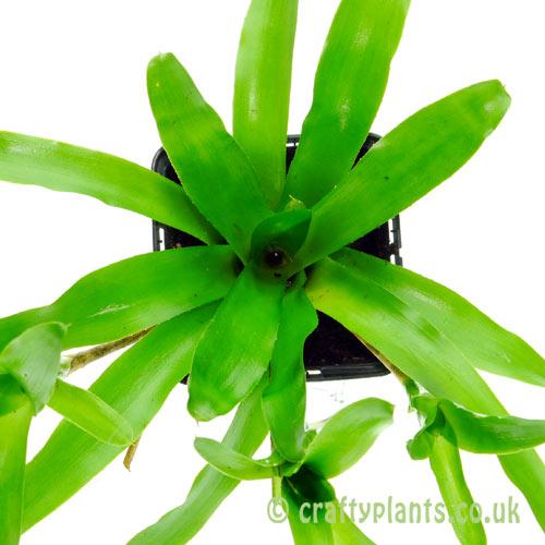 Neoregelia Paulinae by craftyplants.co.uk