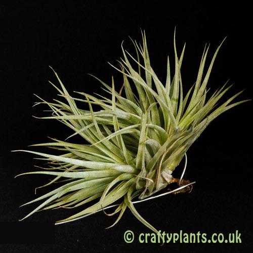 Tillandsia Recurvifolia Clump from craftyplants