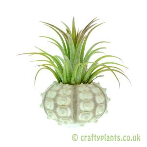 Airplant and Sputnik Urchin kit from craftyplants