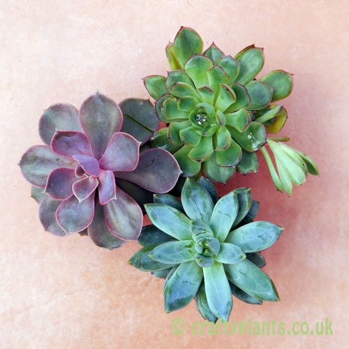 Echeveria 3 pack seen from above from craftyplants