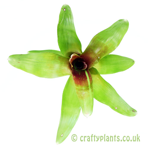 A top down view of Neoregelia 'Spring Song' from craftyplants