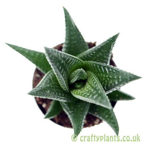 A top down view of Haworthia limifolia from craftyplants