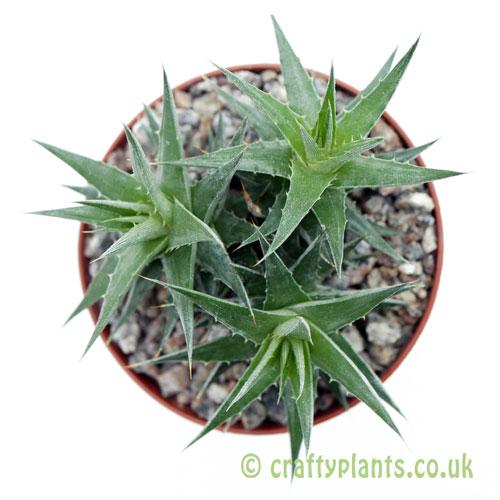 A top down look at Deuterocohnia lorentziana by craftyplants