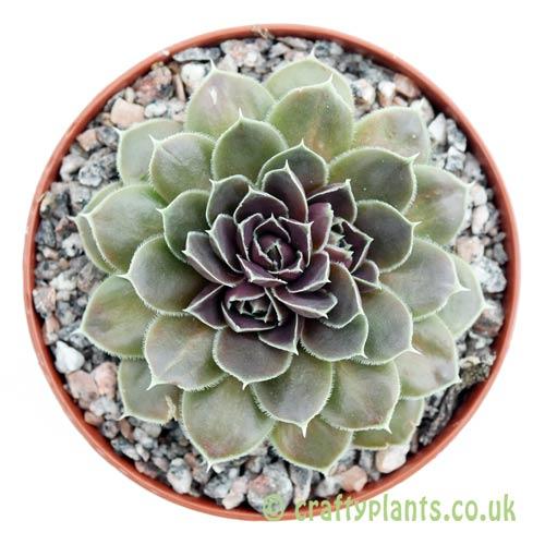 A top down look at Jovibarba heuffelii by craftyplants