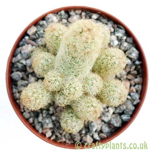 A top down look at Mammillaria elongata (yellow spines) by craftyplants