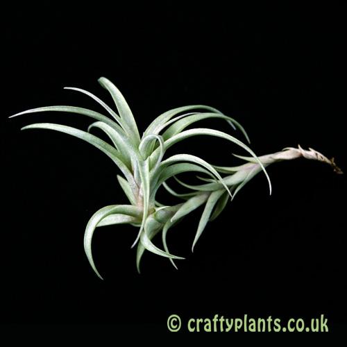Tillandsia roseoscarpa by craftyplants