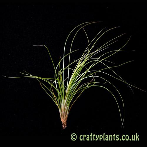 Tillandsia setiformis by craftyplants