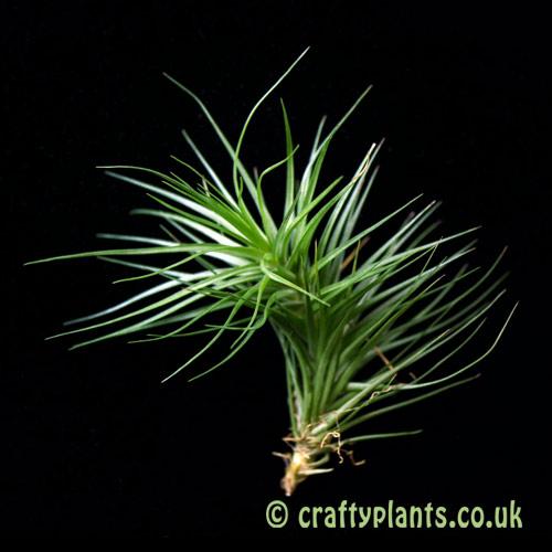 Tillandsia tenuifolia 'Bush Form' by craftyplants